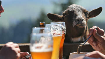 Robin - Tennessee Bar Lets You Hang With Goats While Drinking Secret Boozy Drink