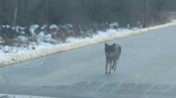 Lori - Man Kills Coyote With Bare Hands