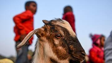 The News Junkie - People Are Worshiping This Goat With A Human Face