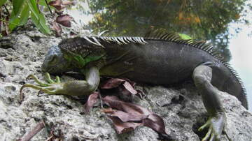 Florida News - Mmm... Iguana Meat.. It's What's For Sale In Florida