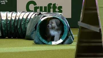 Suzette - This Dog Botches Agility Cours But Has The Time Of His Life Doing It