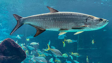 image for 7 Year-Old Author Wrote and Illustrated 500 Pound Tarpon for Mote Marine