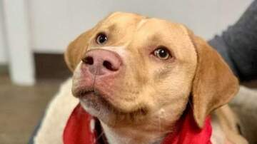 Community Access - Renee's Pet Picks: Meet Roger a yellow lab with Dog Star!