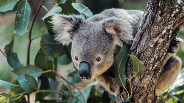 Karen Sharp - Lush's Koala Soap Raises Money For Animals Affected By Australian Wildfires