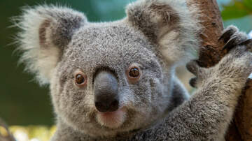 image for Here Is What A Koala Bear Sounds Like