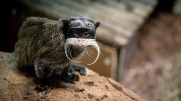 image for A Retirement Home For Service Monkeys In Allston? What Could Go Wrong?