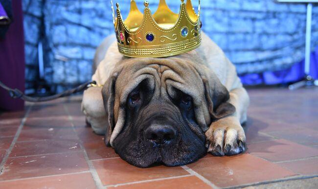 US-WESTMINSTER-DOG-AGILITY-animal