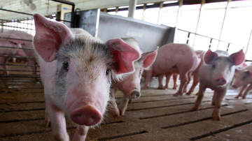 image for Animal Sanctuary Looking For 'Piggy Cuddlers'