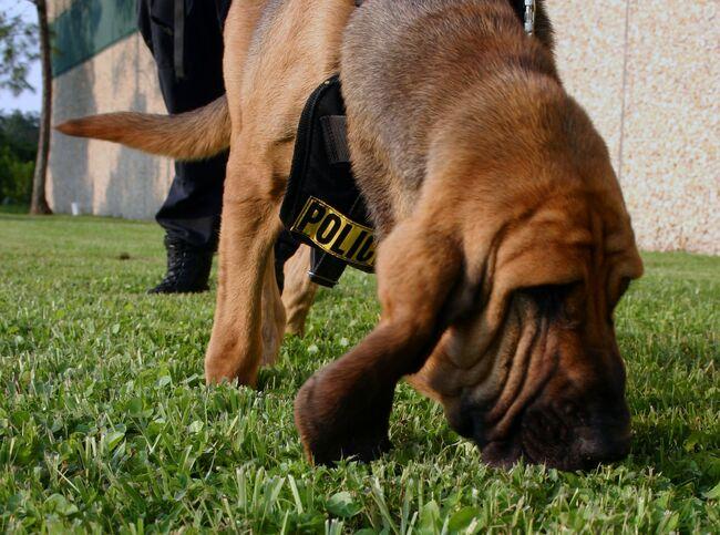 Police K-9 Bloodhound