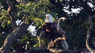 image for ODNR Wants Our Help To Report Eagle Nests