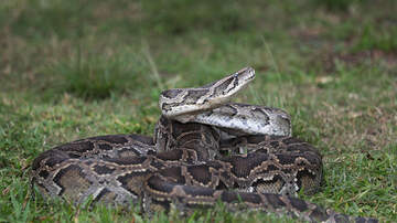 image for (Would You Freak Out?) Watch What Happens To A Reporter With Snake Story