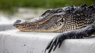 image for 7-Foot Gator Tries To Catch A Ride With Florida Man