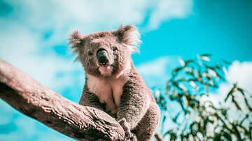 image for Koala's Sound Like This?!?