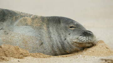 image for Man Sought For Slapping Hawaiian Monk Seal