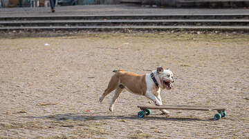 image for Skateboarding French Bulldog video goes viral