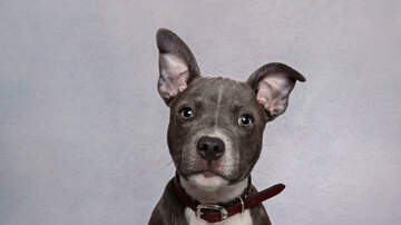image for Denver votes to end the ban on pit bulls...and not everyone is happy