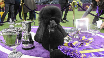 image for Siba The Diva Wins The Westminster Trophy