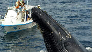 image for Gray Whale Gets Close Enough To Let Passengers Pet Her!