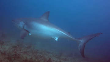 image for Diver In Palm Beach Shares Beautiful, Yet Terrifying Great White Video