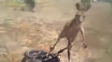 image for Kangaroo Attacks Man Trying to Help It