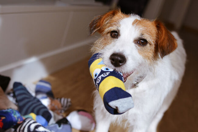 DOG MISCHIEF. JACK RUSSELL PLAYING ANS STEALING  SOCKS IN THE MOUTH.