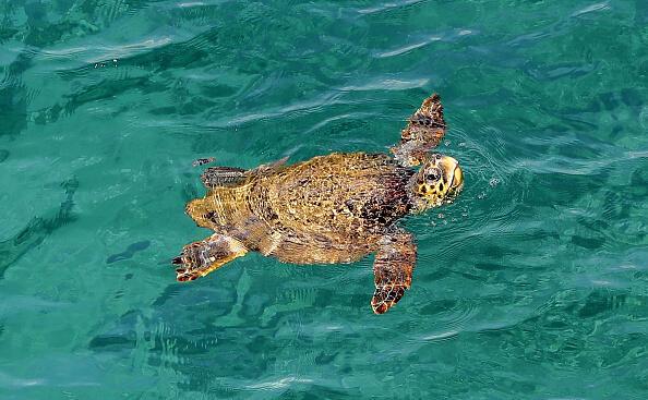 Mass Audubon Says Plastic Is Being Discovered Inside Sea Turtles | Newsradio 95 WXTK