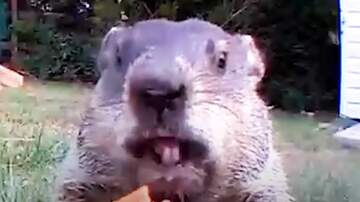 image for Chunk the Groundhog is the Most Adorable Pest!