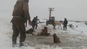 image for Dramatic Footage Shows Rescue Of Horses Trapped In Ice Hole