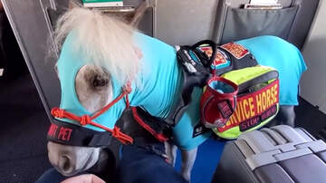 image for Passenger Flies First-Class With Her Miniature Service Horse