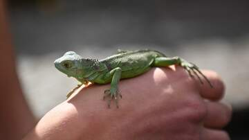 image for Lizard Brought Back To Life Using CPR