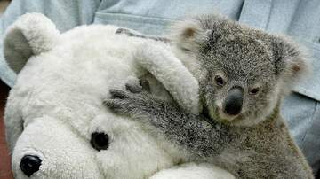 image for This moment with a rescued orphaned koala cub will melt your heart