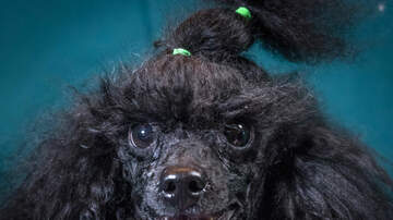 image for Pennsylvania Toy Poodle Picked Up By Hawk