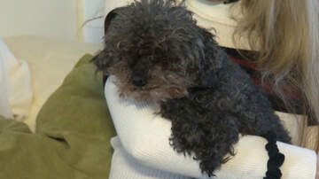image for Hawk Snatches Up Blind, Deaf Poodle, But Dog Is Found Safe 28 Hours Later