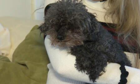 image for Hawk Snatches Up Blind, Deaf Poodle, But Dog Is Found Safe 28 Hours Later