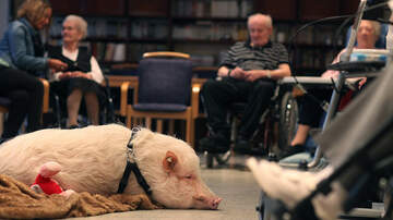 image for You Can Do PIG YOGA This Weekend in Philly