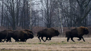 image for This Reporter Running From A Herd Of Bison Is All Of Us Social Distancing