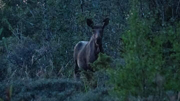 image for Colorado Woman Seriously Injured After Bull Moose Attacks Her In Her Yard