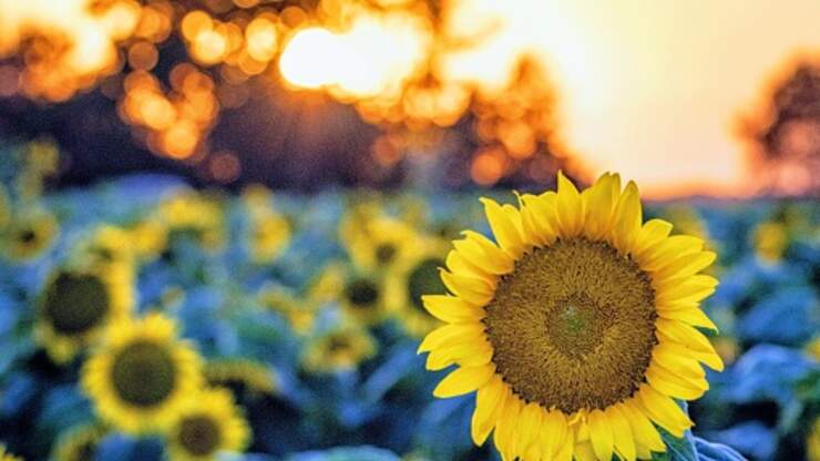 Farmer Plants Millions of Sunflowers to Help Brighten Everyone's Year