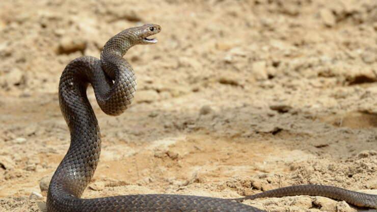 Australian Trucker Fights Off Venomous Snake While Driving