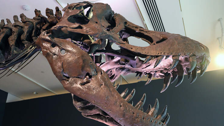 T.Rex Skeleton Being Auctioned Off - Could be yours...