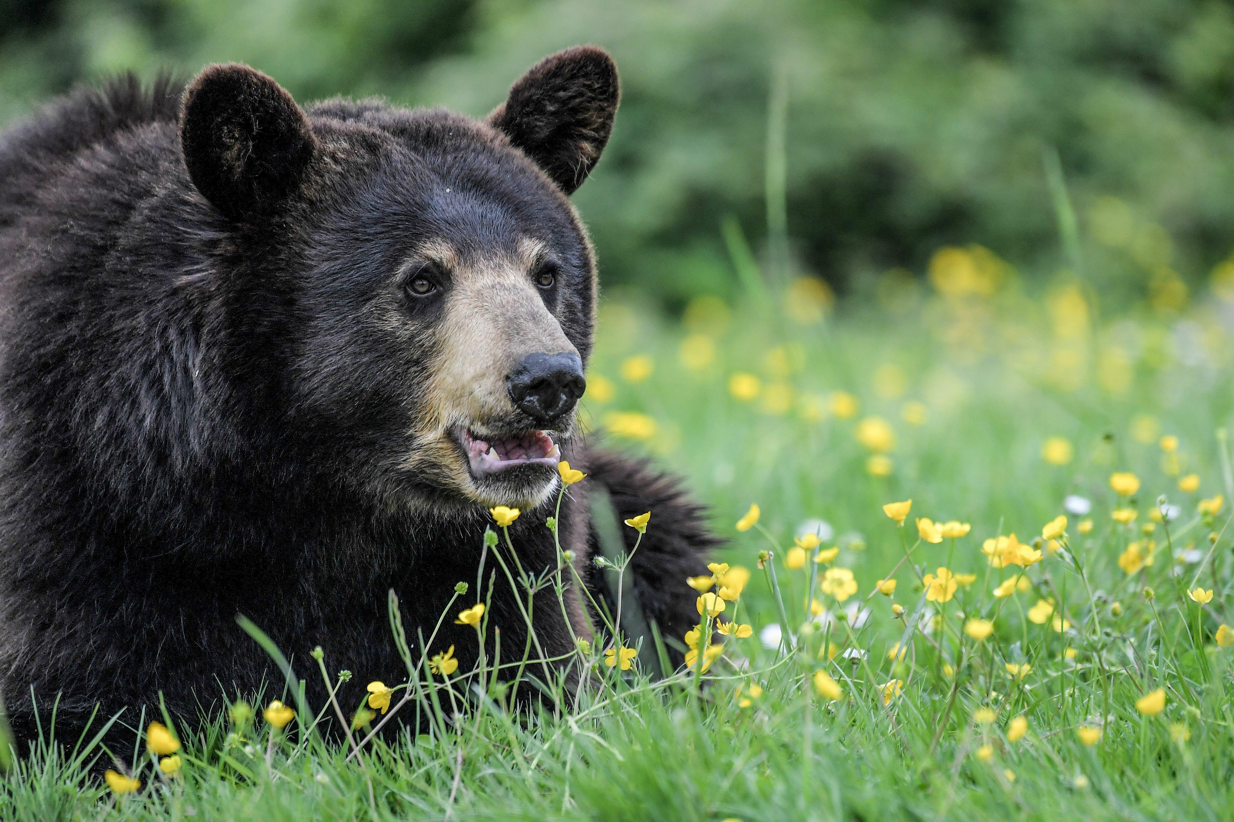 Michigan State Police Investigate I-75 Crash That Killed Fully-Grown Bear