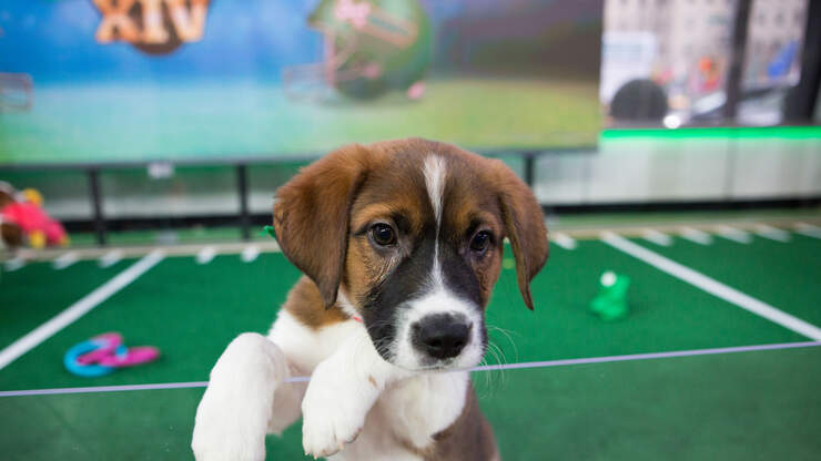 The Puppy Bowl Will Return In 2021 | 106.7 Lite fm