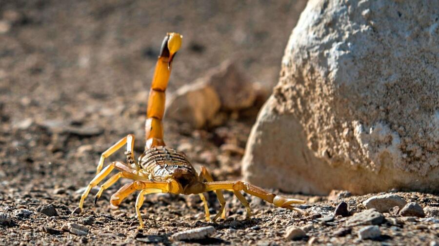 Most Venomous And Lethal Scorpion In The Country Is Right Here In Arizona