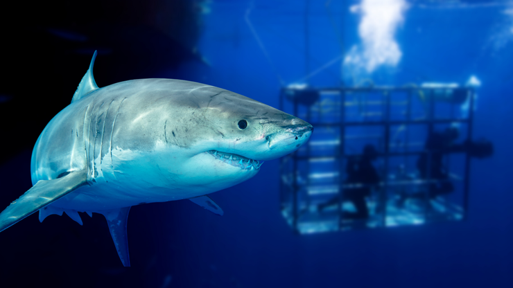 Great White Shark Gets Trapped In Cage With Diver Still Inside