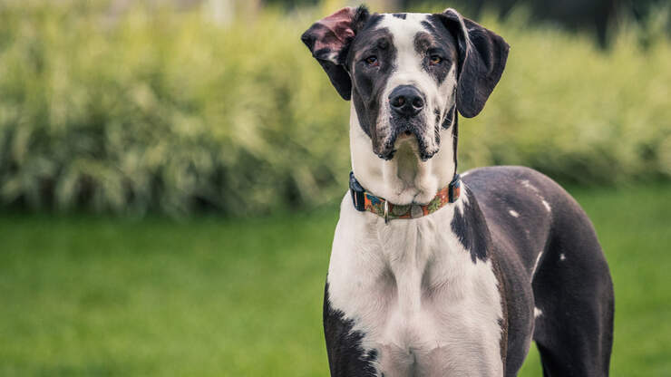 Great Dane Puppy Sends Kid Flying After Running Into Him