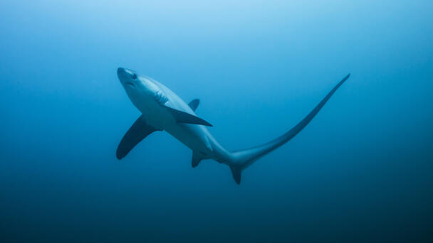 WATCH: Thresher Shark Spotted Near Shore At New England Beach