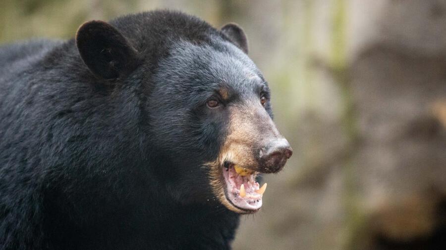 Bear Runs Into Tennessee Restaurant, Strolls Along Crowded Sidewalk   iHeartRadio
