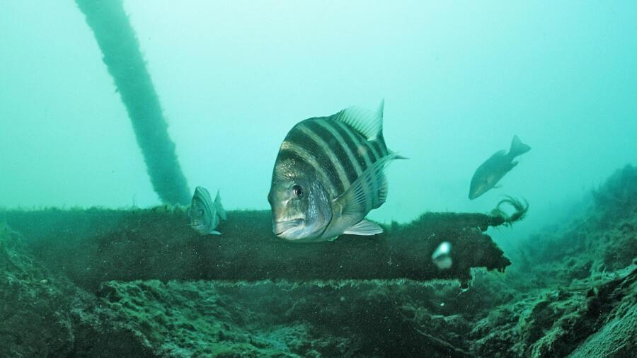 North Carolina Fisherman Catches Strange Fish With 'Human-Like' Teeth   iHeartRadio
