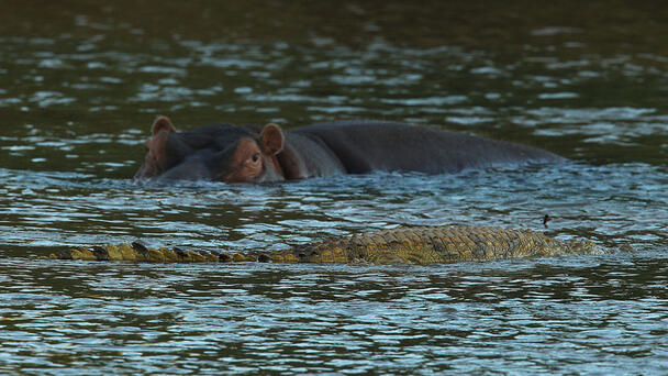 Hippo Herd Violently Attacks Crocodile In Jaw-Dropping Video