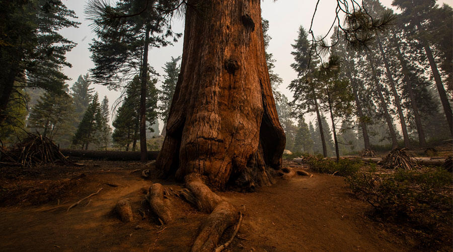 Four Of California's Famous Giant Sequoias Survive Wildfires   iHeartRadio